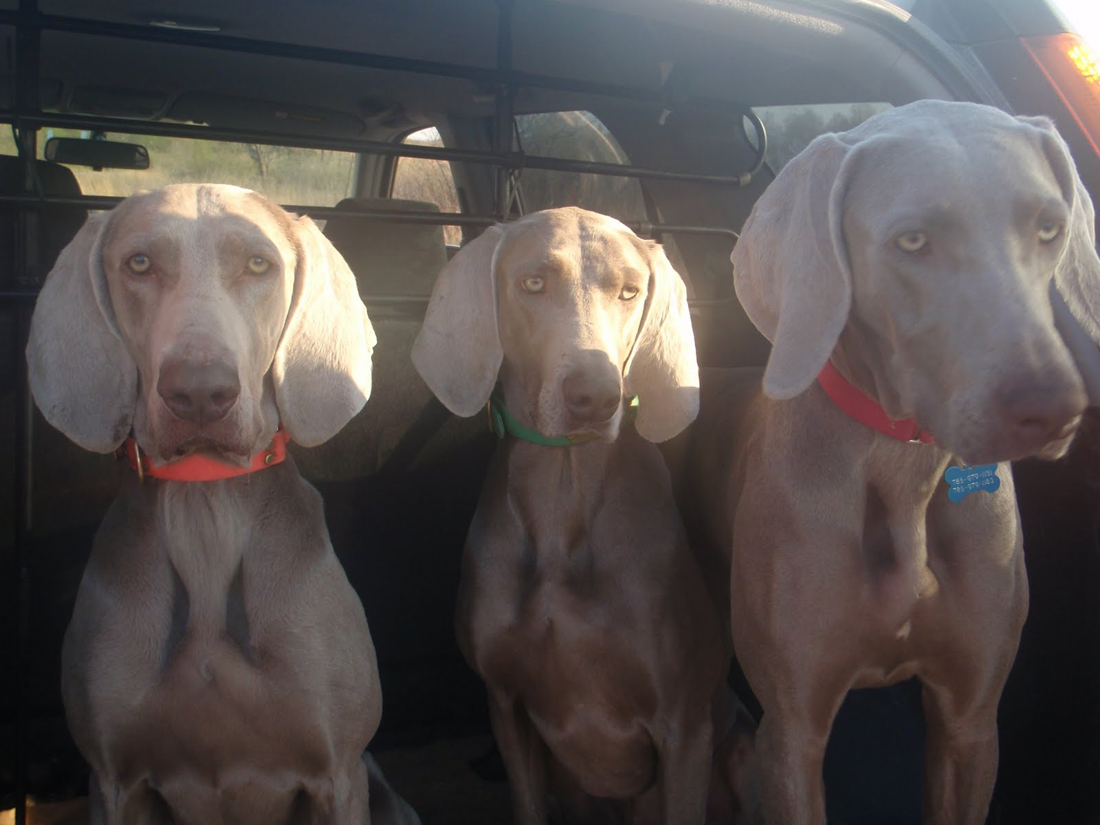 What are some things you need to know before adopting a Weimaraner?